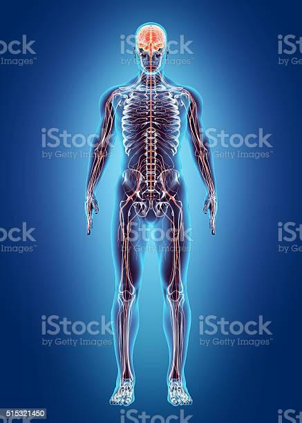 Human internal system nervous system picture id515321450?b=1&k=6&m=515321450&s=612x612&h=1mhmnxzvuhg48w7tisgrdepqlgz5rdtcp5qw7nrmgs8=