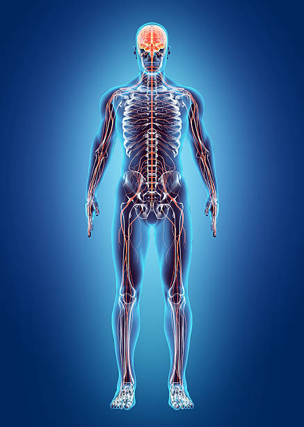 Human Internal System - Nervous system. Human Internal System - Nervous system, medical concept. spine body part stock pictures, royalty-free photos & images
