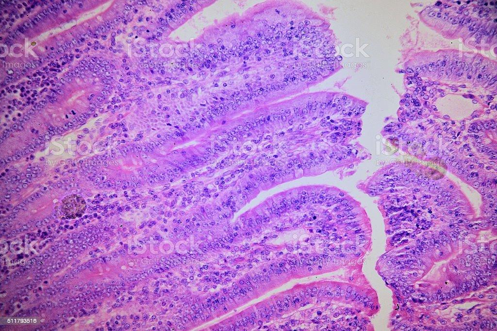 Mikroskop ściany jelita ludzkiego w stockowe zdjęcia i więcej