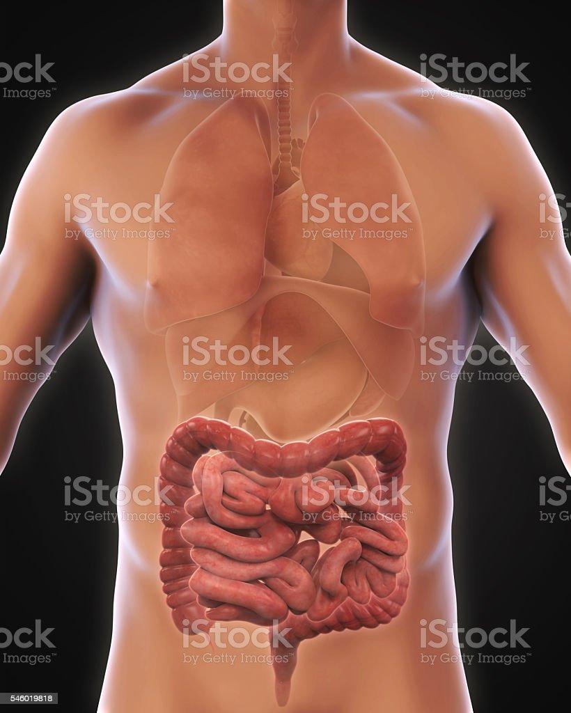 Intestino Humano Anatomía Stock Foto e Imagen de Stock 546019818 ...