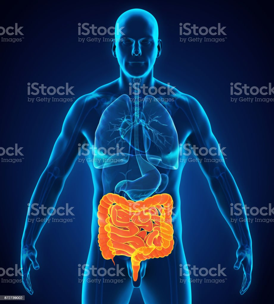 Anatomie Menschlicher Darm - Stockfoto | iStock