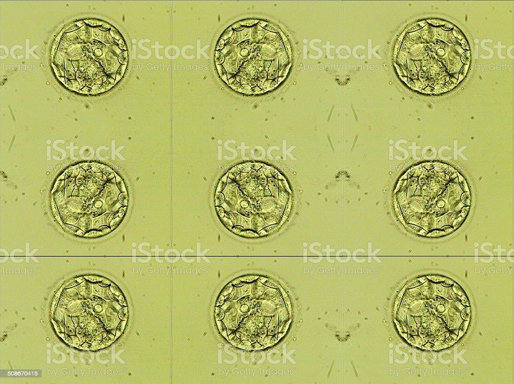 Human IVF blastocyst embryo five days old - mosaic royalty-free stock photo