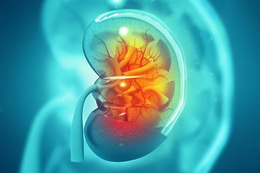 Human Kidney Cross Section On Scientific Background - Fotografias de stock e mais imagens de Anatomia