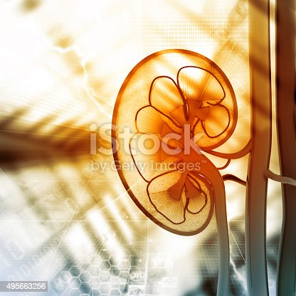 istock Human kidney cross section 495663256
