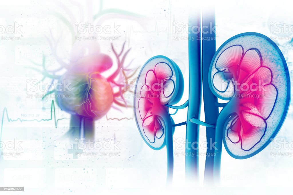 Human kidney cross section stock photo