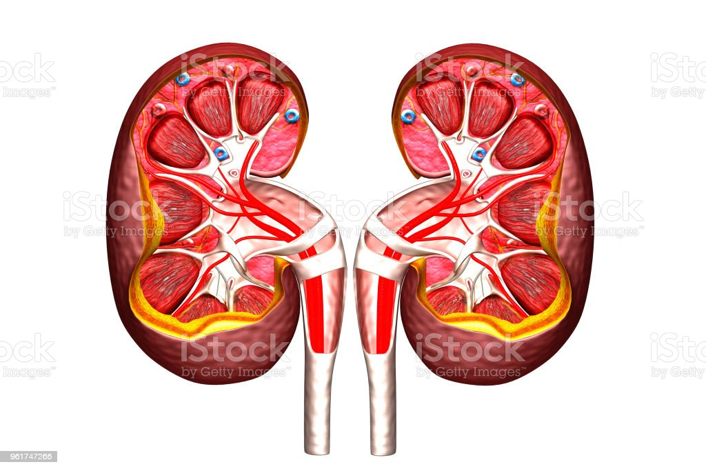 Human Kidney Cross Section Stock Photo & More Pictures of Anatomy ...