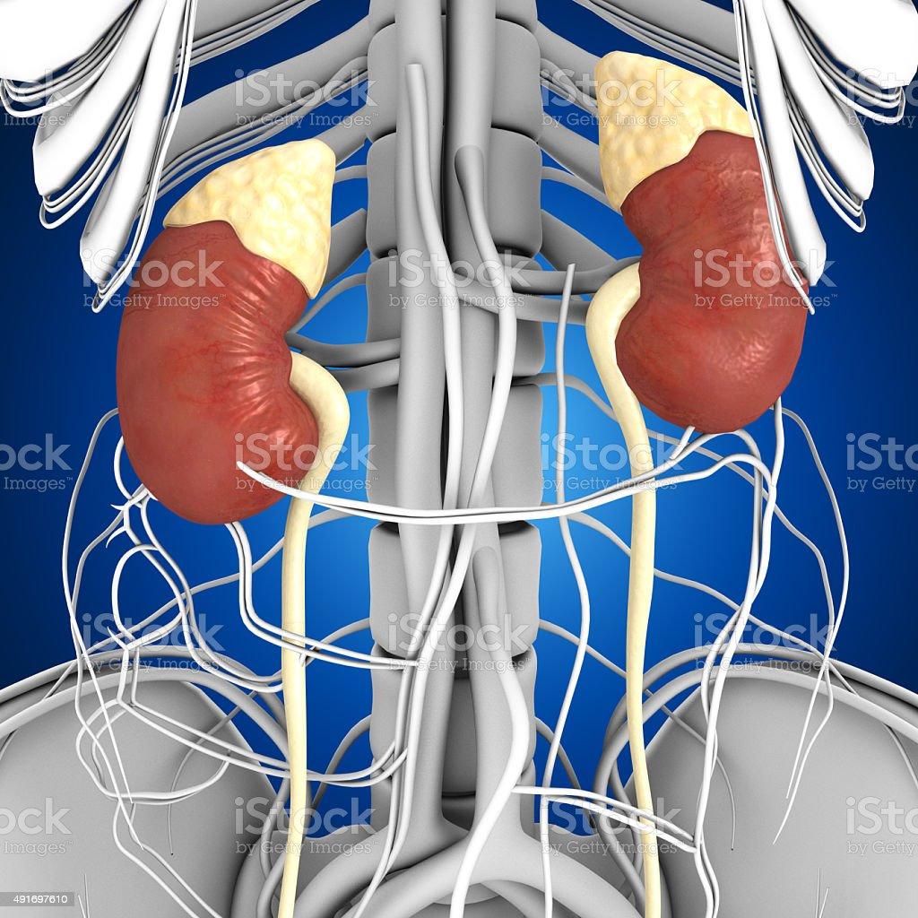 Human Kidneys stock photo