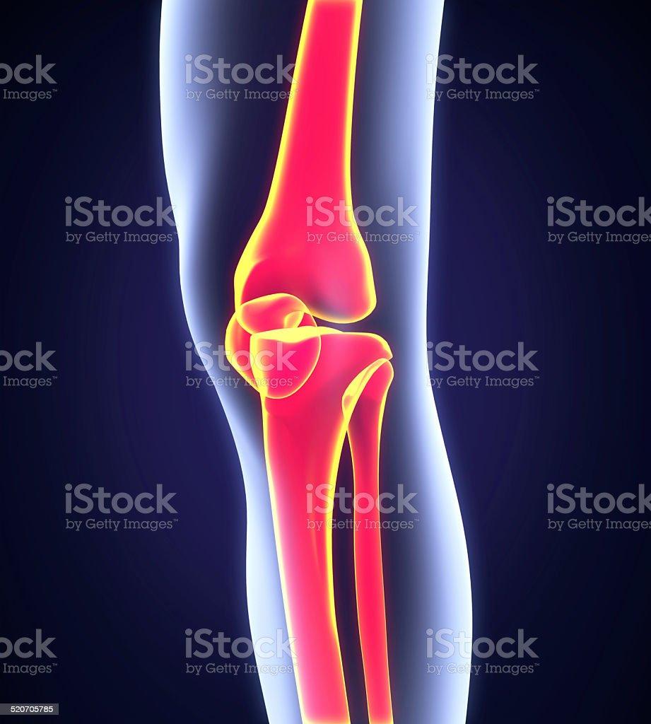Menschliches Knie Anatomie Stock-Fotografie und mehr Bilder von ...