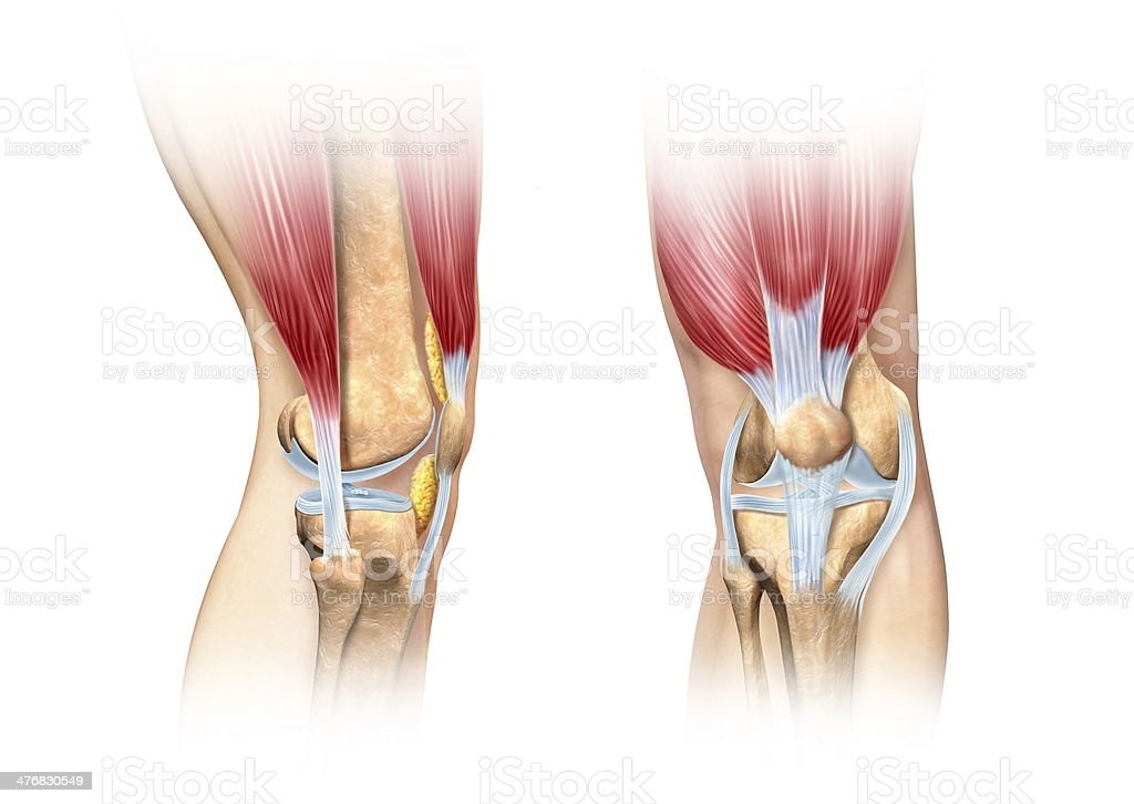Human knee cutaway illustration. Anatomy image. stock photo