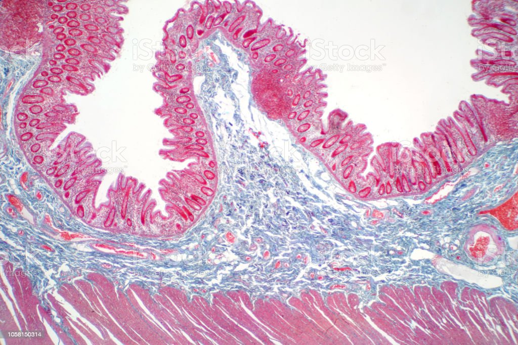 Human large intestine tissue under microscope view. Histological for human physiology. stock photo