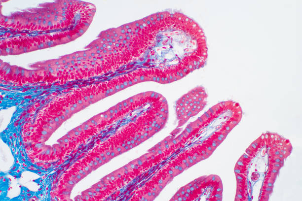Human large intestine tissue under microscope view. Histological for human physiology. Human large intestine tissue under microscope view. Histological for human physiology. epithelium stock pictures, royalty-free photos & images
