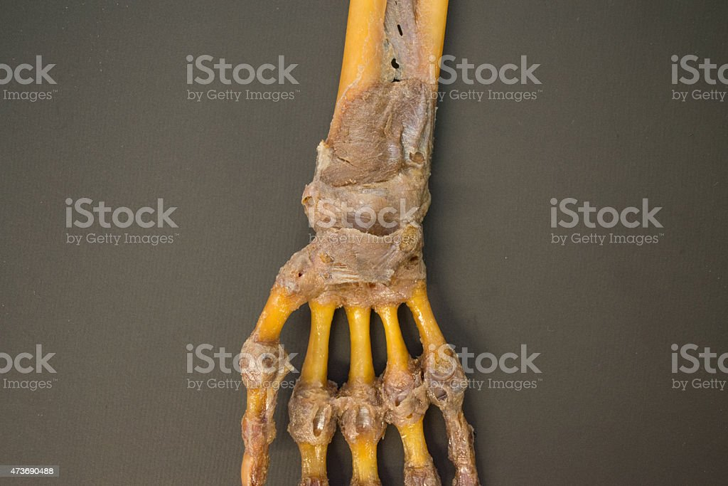 Human left hand dissected - top view HD resolution detail stock photo