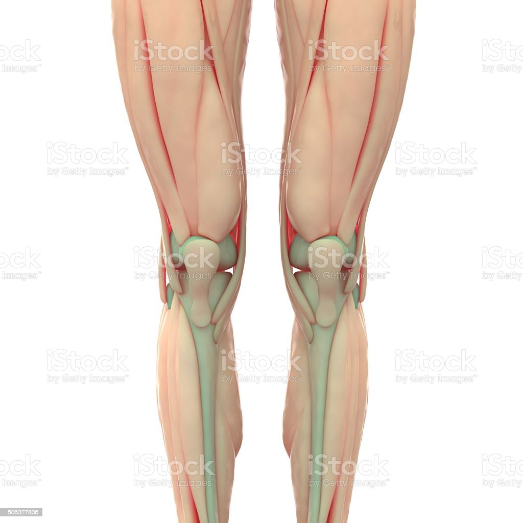 Human Leg And Knee Joints With Muscles Stock Photo More Pictures
