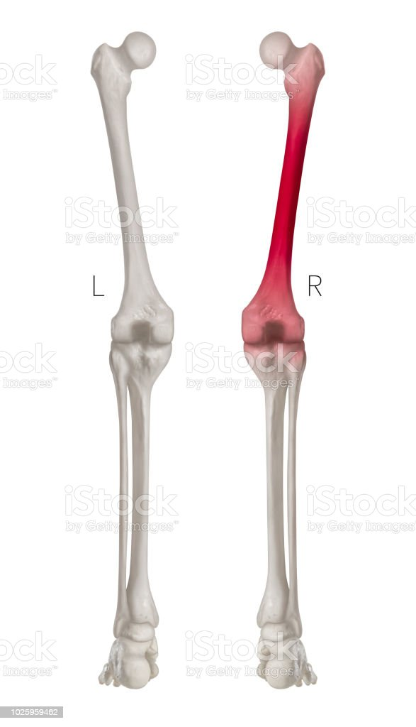 Human Leg Bone Left And Right Posterior View Red Highlights In Femur