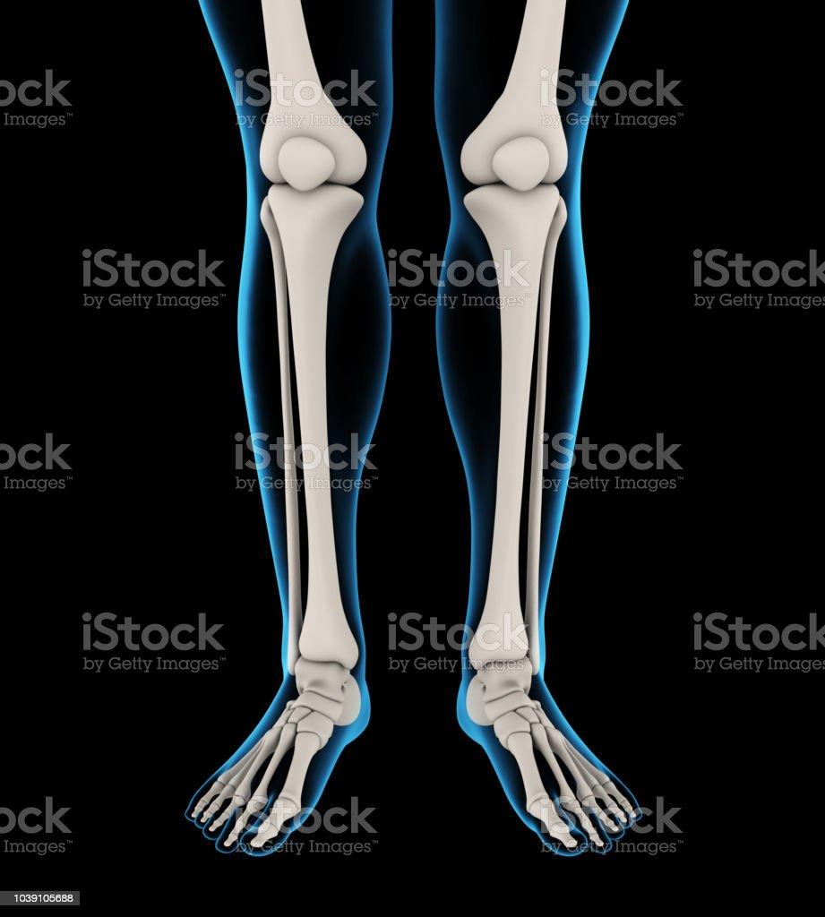 Human Leg Bones Anatomy Stock Photo More Pictures Of Anatomy Istock