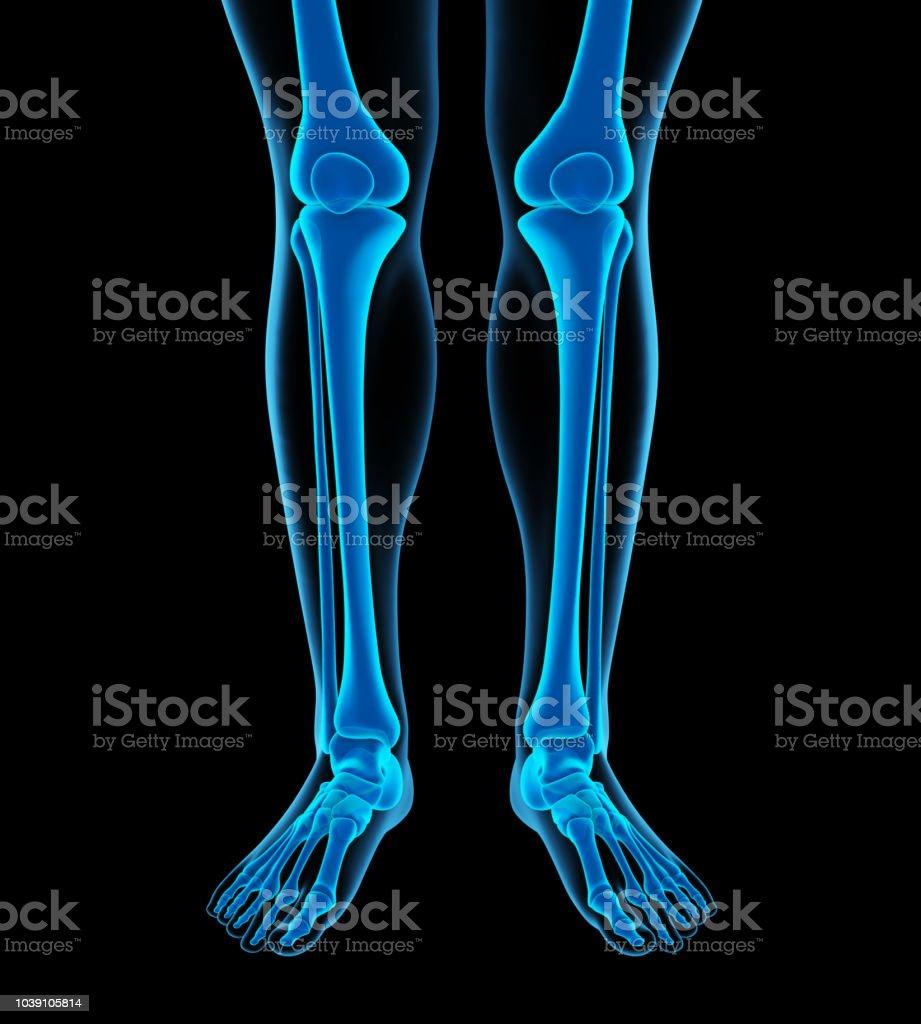 Fotografía de Anatomía De Los Huesos De La Pierna Humana y más banco ...