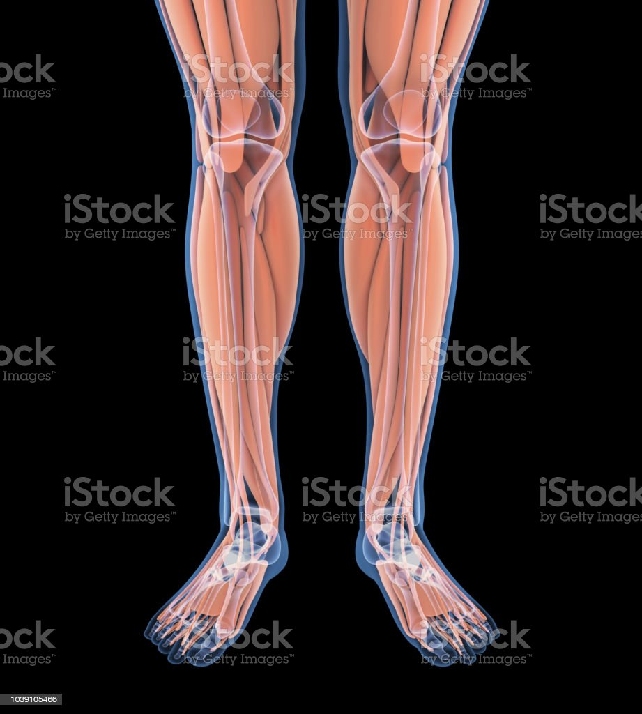Human Leg Muscles Anatomy Stock Photo More Pictures Of Anatomy