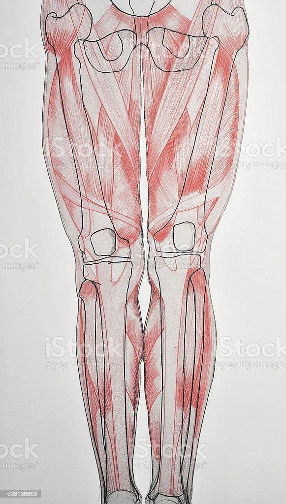ANATOMY : human legs stock photo