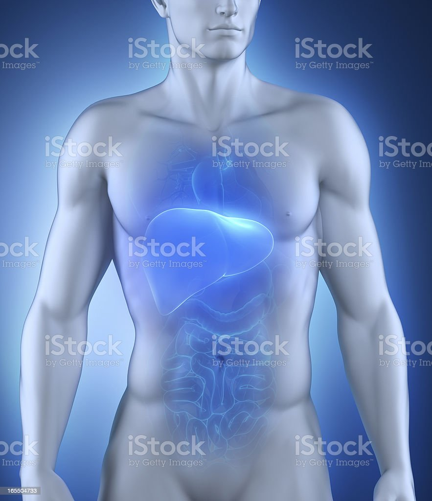 Human liver anatomy royalty-free stock photo