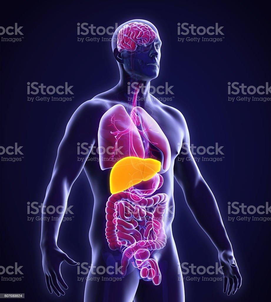 Anatomie Der Menschlichen Leber Stockfoto 507033524 | iStock