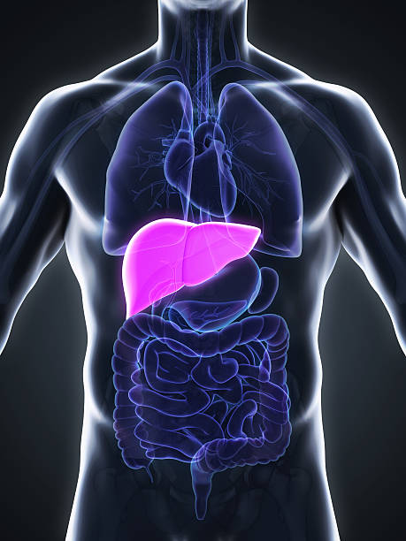 Royalty Free Human Liver Pictures, Images and Stock Photos - iStock