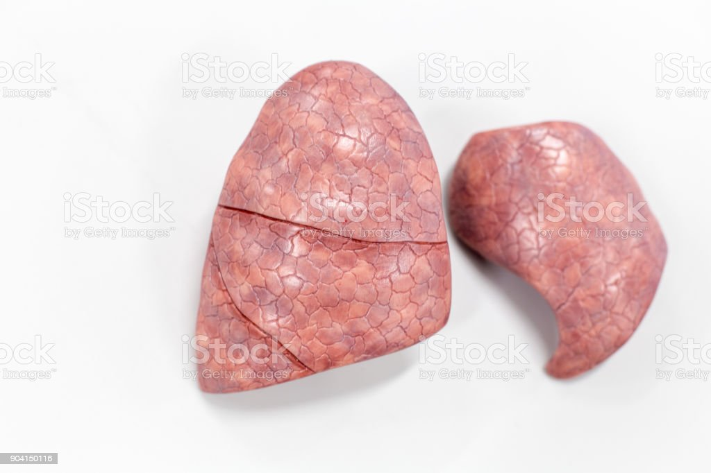 Human Lung Anatomy Model For Education In Lab Stock Photo More