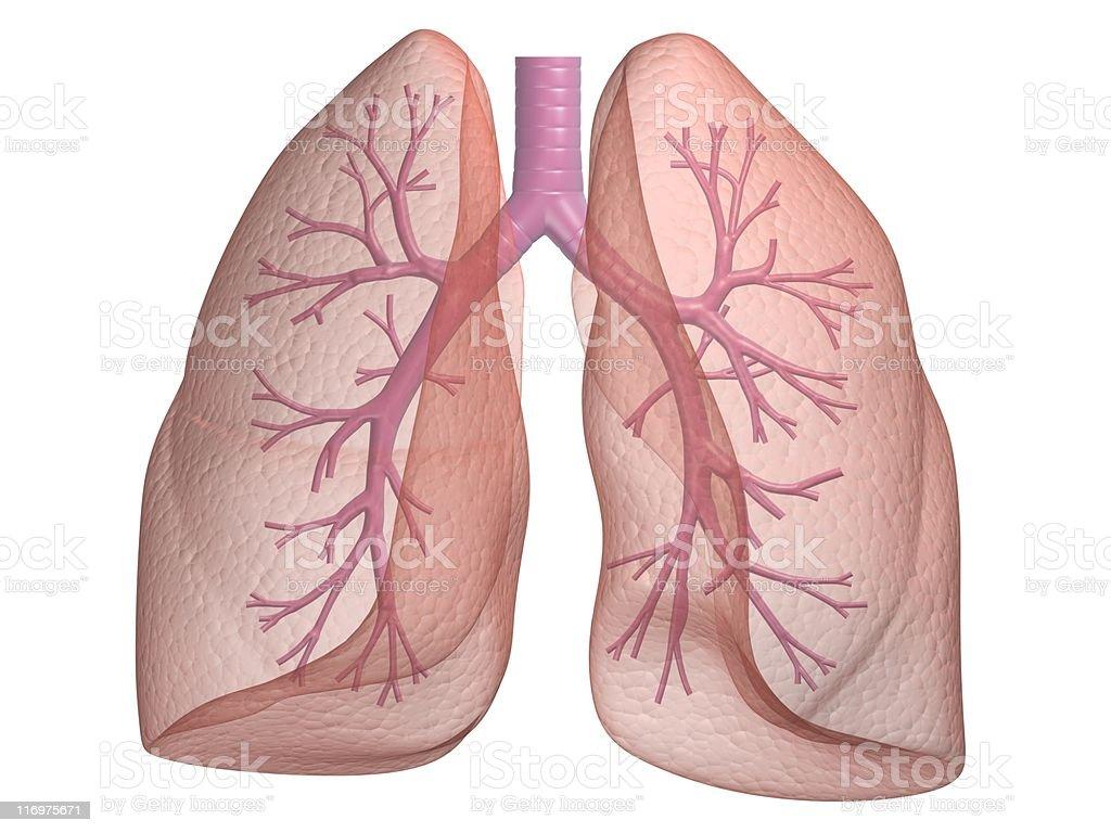 Menschliche Lunge – Foto