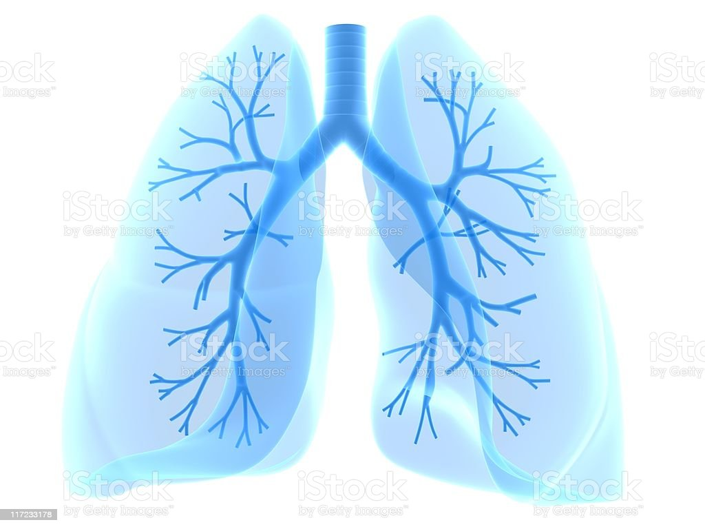 human lung royalty-free stock photo
