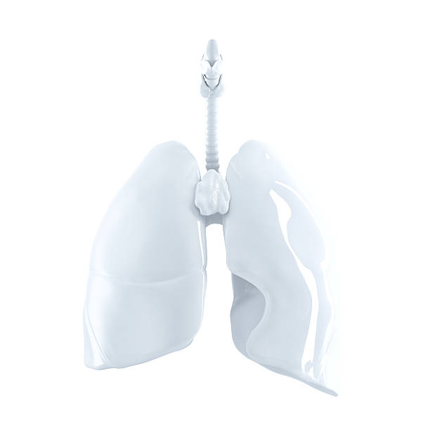 Human Lungs. 3d render. Isolated, contains clipping path. stock photo