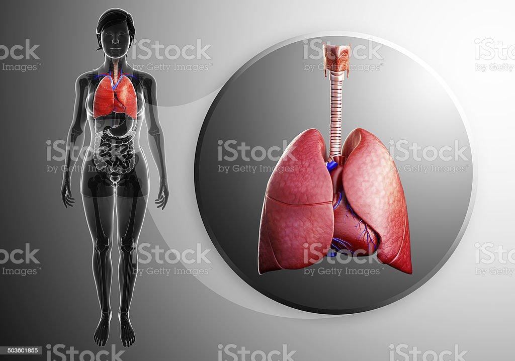 Menschliche Lunge Anatomie Stock-Fotografie und mehr Bilder von ...
