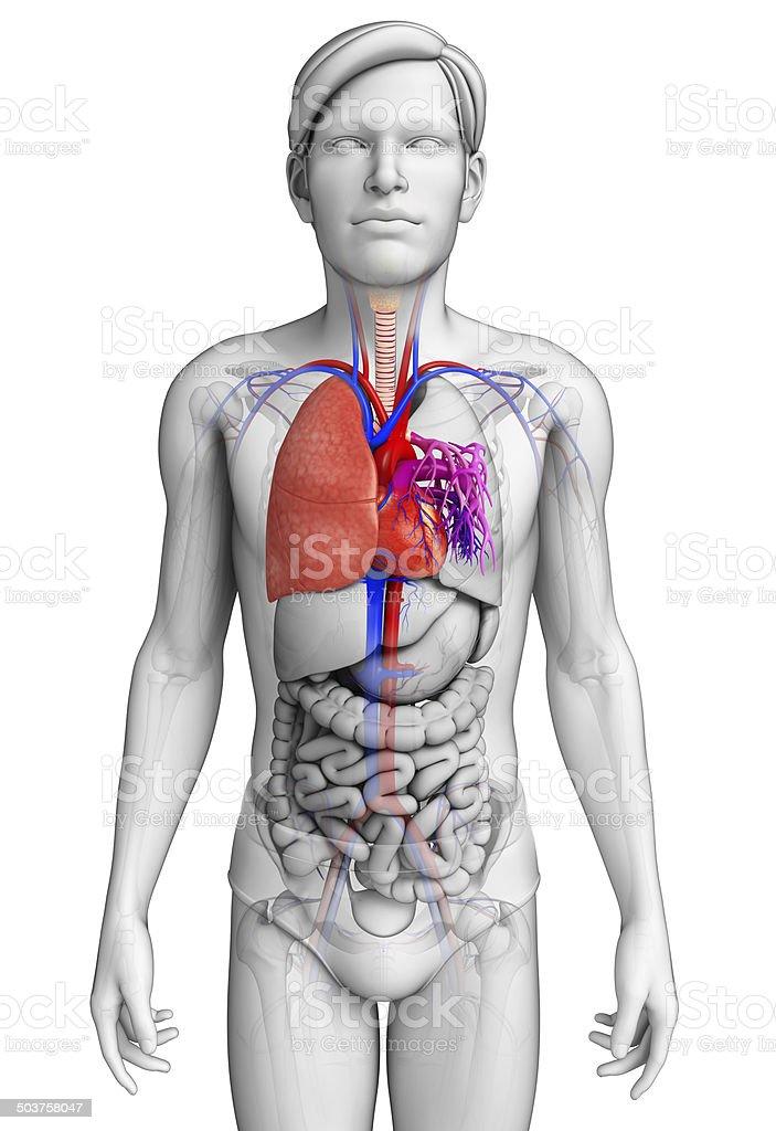 Schön Menschliche Lunge Fotos - Anatomie Ideen - finotti.info