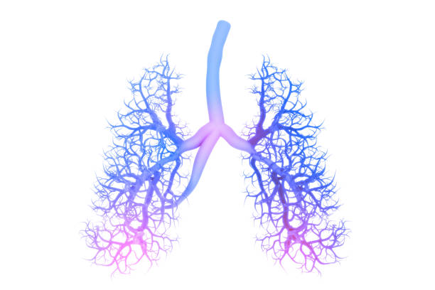 Human lungs anatomy Human lungs anatomy lung stock pictures, royalty-free photos & images