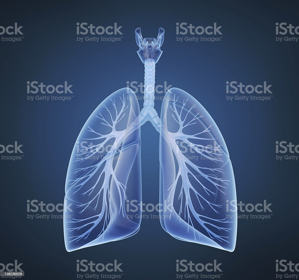 Human lungs and bronchi in x-ray view stock photo