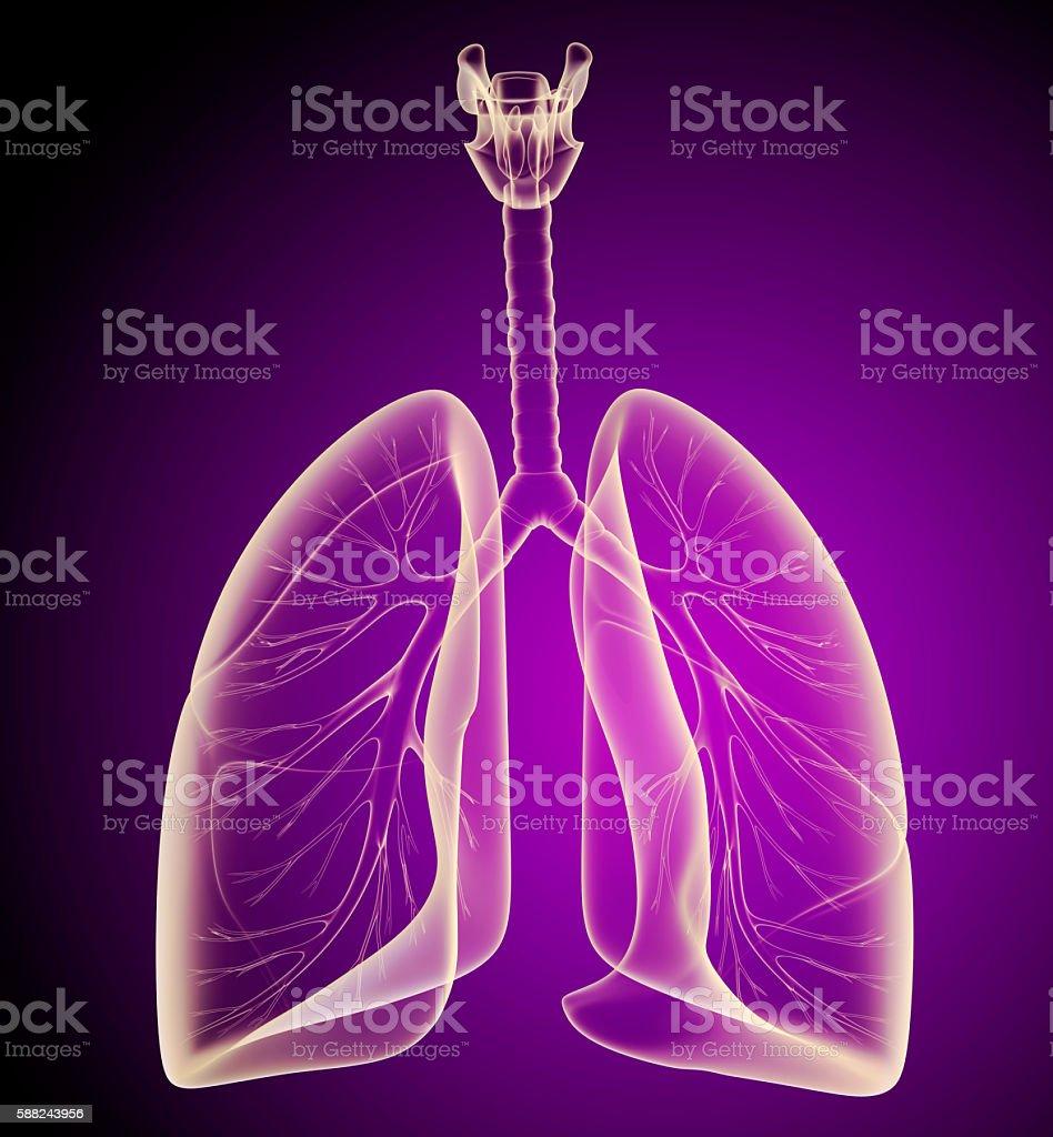 Menschliche Lunge und Bronchien auf x-ray Blick – Foto