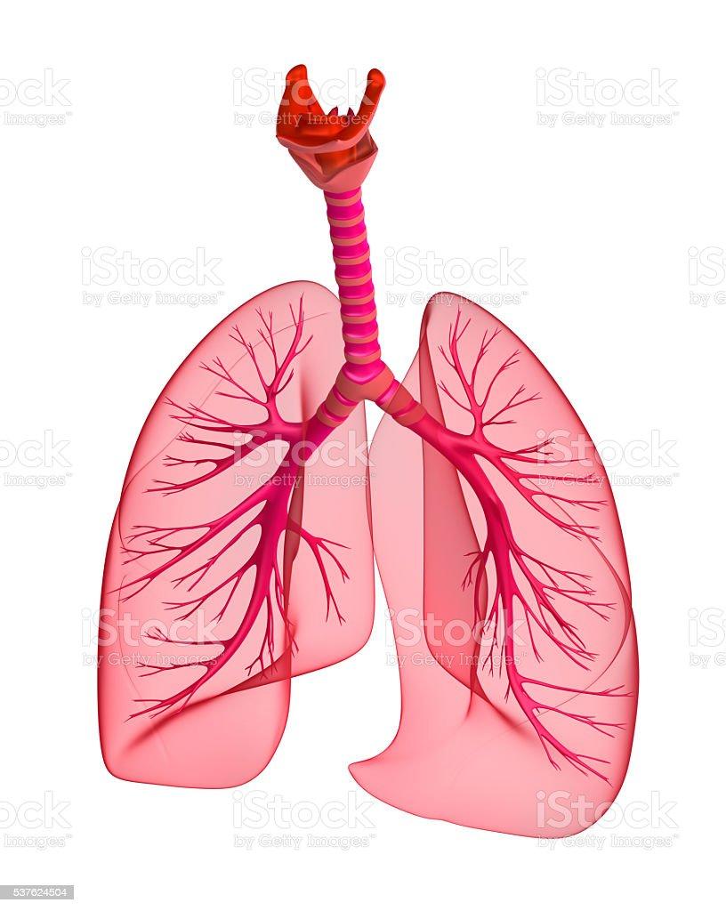 Menschliche Lunge und Luftröhre. 3 d Render – Foto