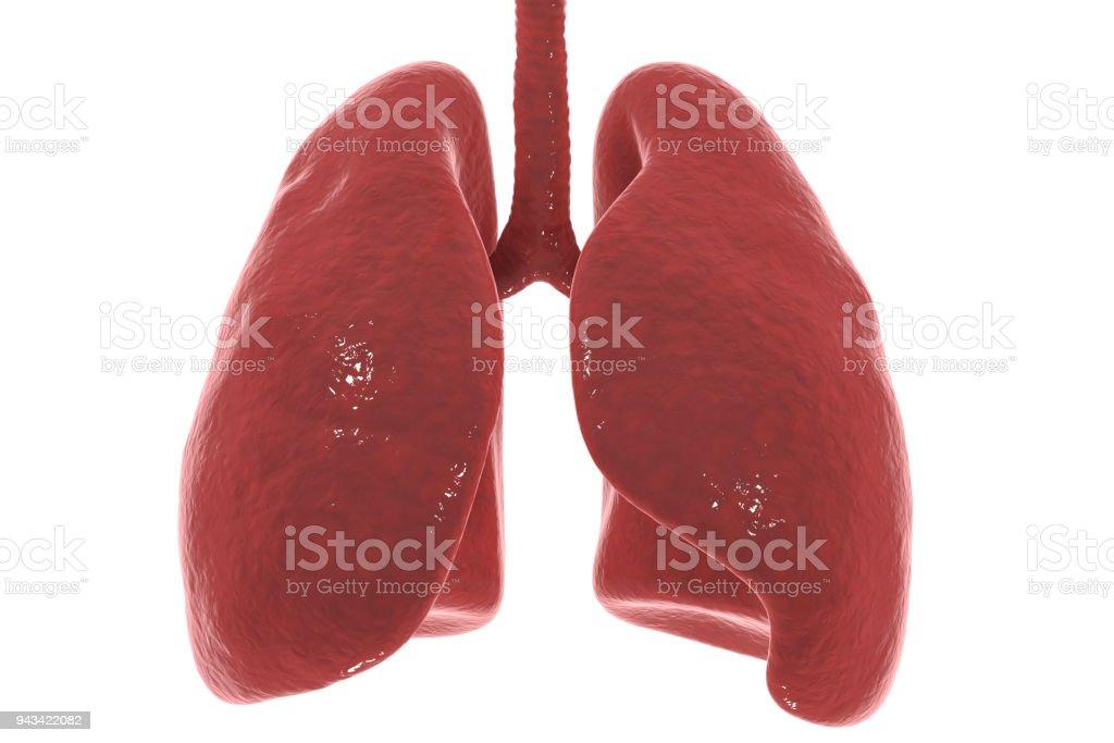Menschliche Lunge und Luftröhre isoliert auf weißem Hintergrund – Foto
