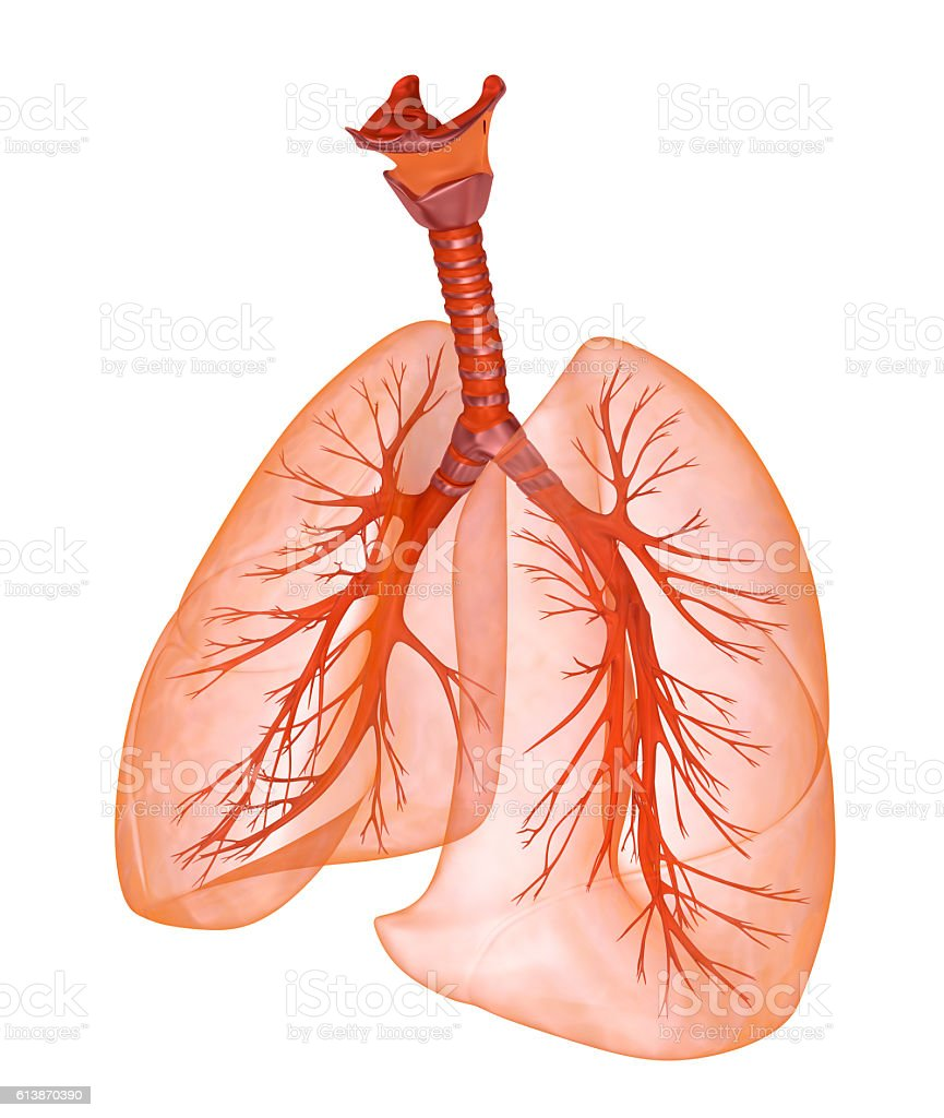 Human Lungs And Trachea Medically Accurate 3d Illustration Stock ...