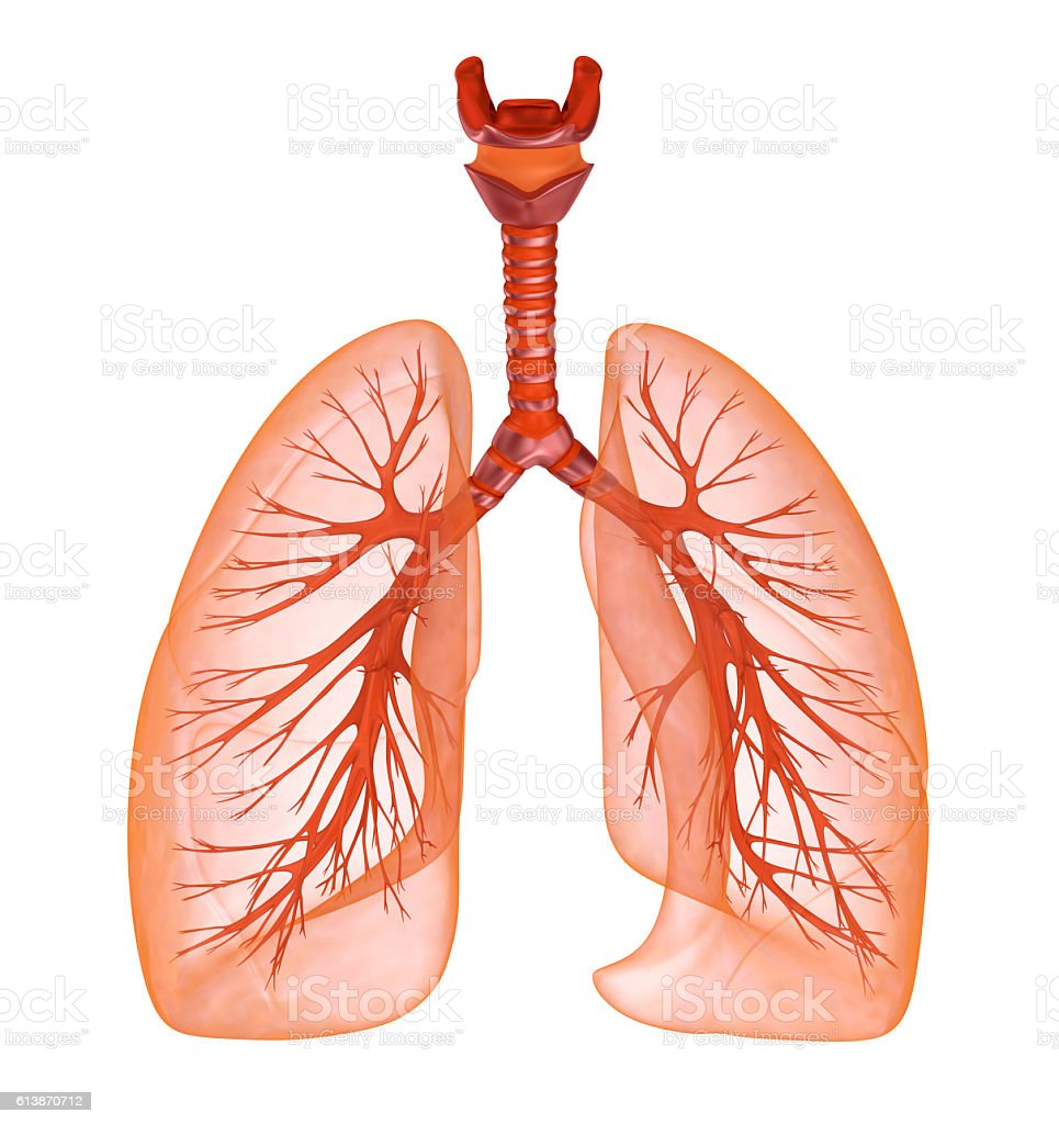 Human lungs and trachea. Medically accurate 3D illustration - foto de stock