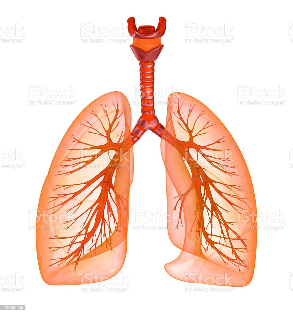 Human lungs and trachea. Medically accurate 3D illustration – Foto