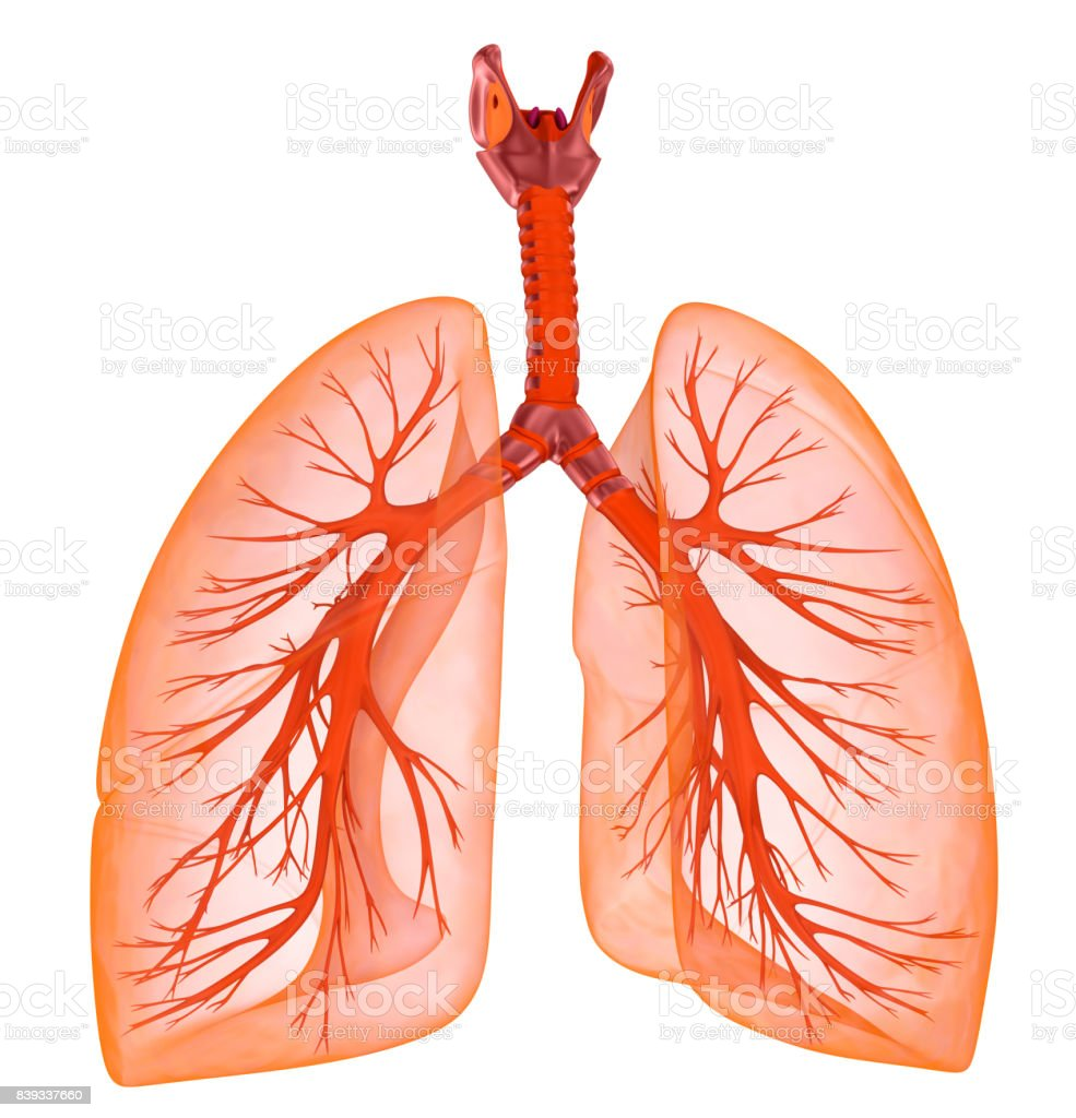 Menschliche Lunge und Luftröhre. Medizinisch genaue 3D-Illustration – Foto