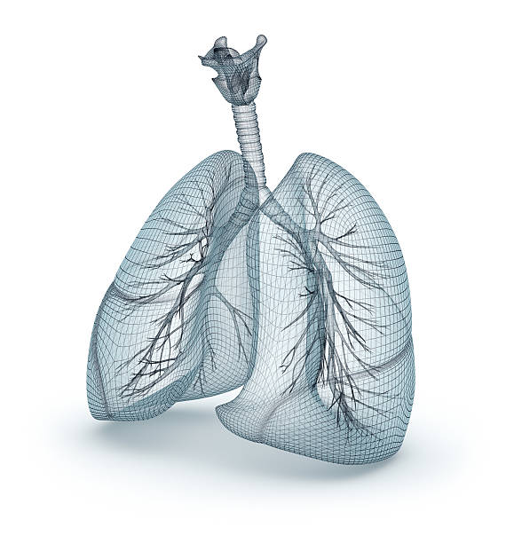 Human lungs and trachea. Wire model, 3D illustration Human lungs and trachea. Wire model, 3D illustration lung stock pictures, royalty-free photos & images