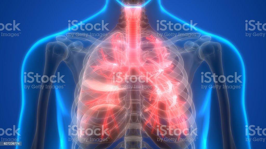 Menschliche Lunge im Anatomy (Kehlkopf, Trachea, Bronchioles) – Foto