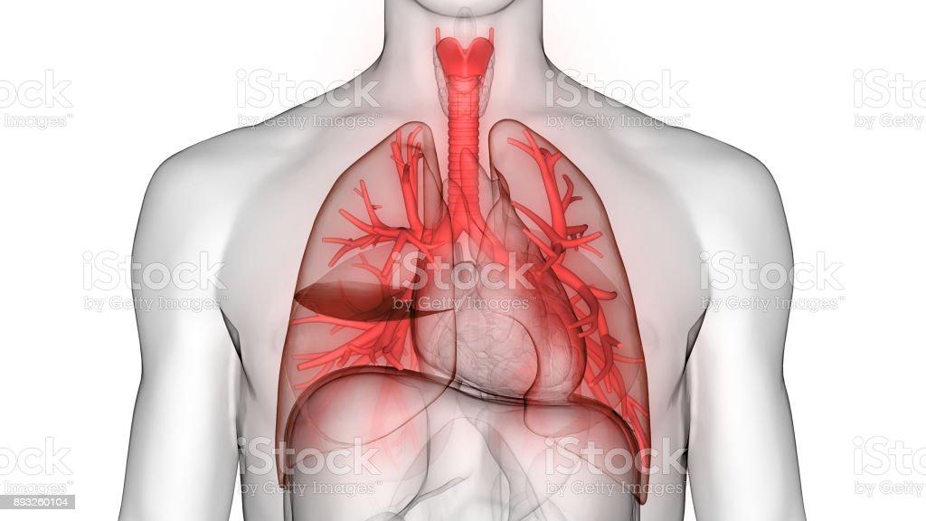 Fotografía de Pulmones Dentro De La Anatomía Humana y más banco de ...