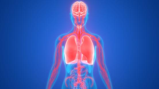 Menschliche Lunge Mit Herzkreislaufsystemanatomie Stockfoto und mehr Bilder von Abstrakt