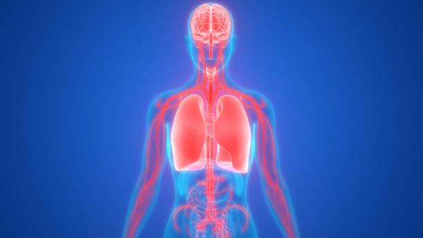 menschliche lunge mit herz-kreislauf-system-anatomie - herz lungen training stock-fotos und bilder