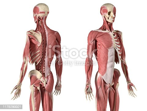 Human male anatomy, 3/4 figure muscular and skeletal systems, with internal muscle layers. Back and front perspective views. on white background. 3d anatomy illustration.