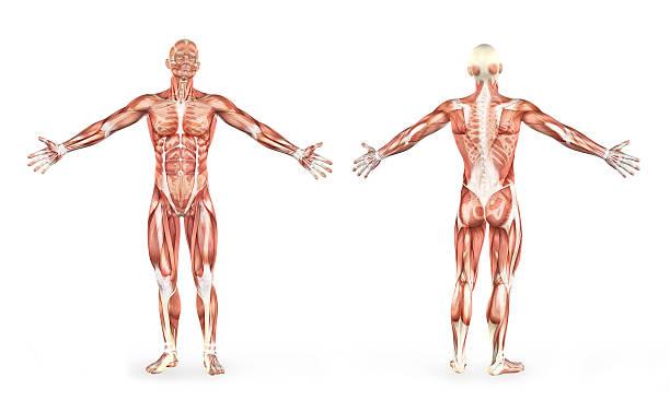 der männliche muskeln anatomie - mit muskelkater trainieren stock-fotos und bilder