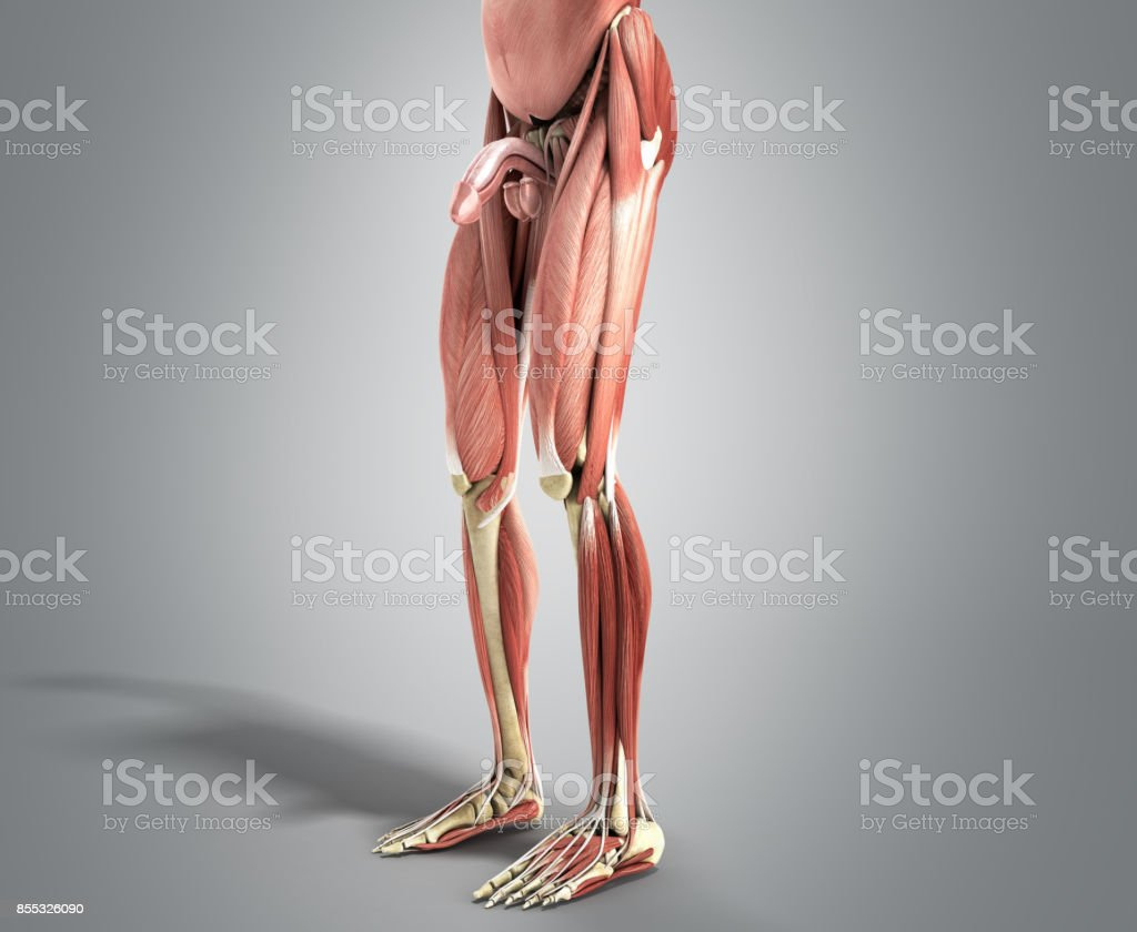 Anatomía Muscular 3d Render En Gris - Stock Foto e Imagen de Stock ...