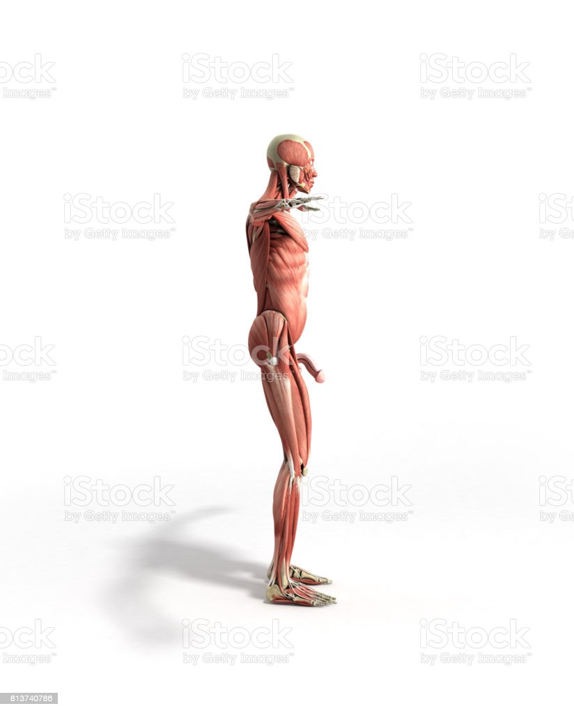 Anatomía Muscular 3d Render Frente Blanco - Stock Foto e Imagen de ...