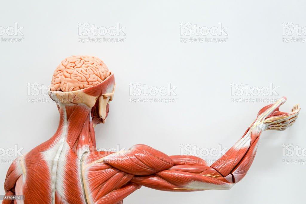 Groß Leistenkanal Anatomie Ppt Galerie - Anatomie Von Menschlichen ...